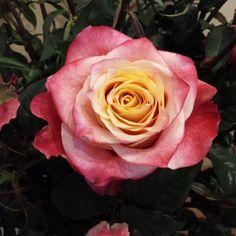 Rose 3D.  #florist #florists #flower #flowers #perrifarms #wedding #weddings #floral #cutflower #cutflowers #rose #roses #ecuador