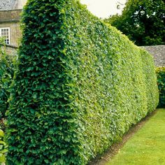Carpinus betulus hedge - width at the base allows sun to get to the plant + it remains bushy