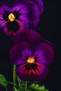 The pansies that my sister planted by Grandma's back door.