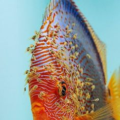 Discus Discus Aquarium, Discus Fish, Betta Fish, Aquariums, Tropical Freshwater Fish, Freshwater Aquarium Fish, Tropical Fish, Fish Background, Oscar Fish