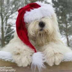Christmas Animals, Christmas Dog, Dog Photos, Dog Pictures, Sheep Dogs, Doggies, Cute Pupies, Animals And Pets, Cute Animals