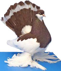 All Pigeon Breeds png | Mumtaztic Pigeon Loft - Bronze