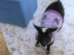 Can I foster goats too? Goats In Sweaters, The Fosters, Woodworking, Lol, Cats, Animals, Gatos, Animales, Kitty Cats