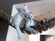 Breng de wilde kant van uw kat -Zeer stevig, getest om te houden van 85 pond -Volledig aanpasbaar -Boeiende en mooi -Wij kunnen helpen u het ontwerp van de brug van uw dromen  De Indiana Jones-brug is een prachtig stuk van meubilair en een van onze katten meest geliefde stukken. Elke brug is handgemaakt en gebouwd om te bestellen. Onze grote kat Ickle valt vaak in slaap op zijn rug in het midden van zijn brug loungen. Katten van alle soorten en maten kunnen gebruik maken van deze brug om te…