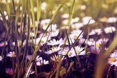 #daisy #garden #summer