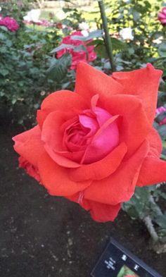 Camara Rose