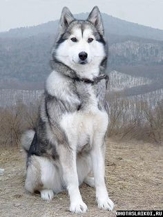 Wonderful All About The Siberian Husky Ideas. Prodigious All About The Siberian Husky Ideas. Dogs Funny Husky, Cute Husky, Husky Puppy, Haski Dog, Siberian Husky Dog, Alaskan Husky, Alaskan Malamute, Shiba Inu, Akita