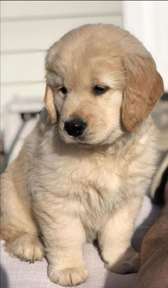 Golden Retriever mix breeds are the most saught after breeds of 🐶. Find out which Golden Retriever mix is perfect ❤️ for you with 41 mix breed PICTURES. Super Cute Puppies, Cute Baby Dogs, Cute Little Puppies, Cute Dogs And Puppies, Cute Little Animals, Cute Funny Animals, Pet Dogs, Boxer Puppies, Doggies