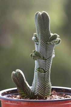 Plante grasse : Crassula pyramidalis Origine : Le Cap, Afrique du Sud  Collection Jean-Pierre Perroud  IMG_6486_2