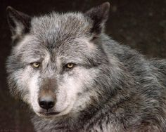Timberwolf by Ralf Thoms