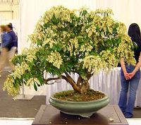Japanese Andromeda  scientific name Pieris japonica  an evergreen shrub with upright spreading branching.