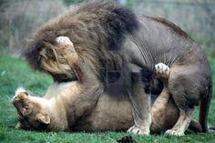 Lion Sex.