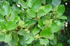 Pāpāumu or broadleaf (Griselinia littoralis) is common in lowland and high-country forest. It has broad, oval leaves with a lime-green hue.