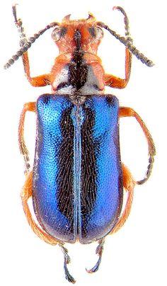 http://www.zin.ru/animalia/coleoptera/images/clycyakm.jpg