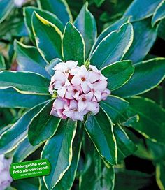 Spectacular BALDUR Garten Duftend Daphne Odora Aureomarginata Pflanze Seidelbast