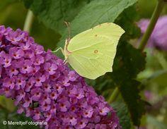 Het voorjaar is weer in aantocht, de eerste vlinder alweer gezien. Deze foto is genomen in de zomer. Een citroentje als ik me niet vergis op de vlinderstruik.