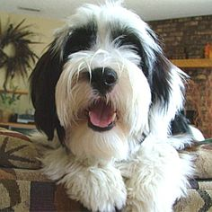tibetan terrier 18-30 lbs.  not in terrier family.  minimal shedding - needs to be brushed a couple times a week