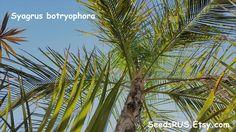 Pati Queen Palm - Bahia Palm  - FREE SHIPPING - Fresh Seeds - Syagrus botryophora by SeedsRUs on Etsy