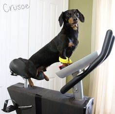 Crusoe Dachshund Exercise Program