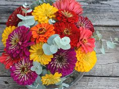 Benary's Zinnias Mixed Colors Large Double Zinnias Great for Butterfly Gardens and Cut Flower Gardens