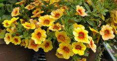 Overwintering Million Bells – Can You Keep Calibrachoa Plants Over Winter