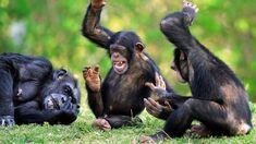 Les chimpanzés de Bossou raffolent du vin de palme