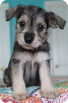 what a cutie! Schnauzer/Jack Russell Terrier Mix Puppy I