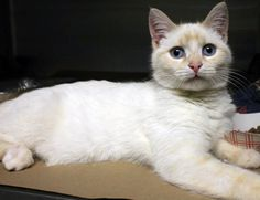 Intake: 1/24 Available: 1/29 NAME: Poodle  ANIMAL ID: 24836444 BREED: Flame point Siamese mix  SEX: Male  EST. AGE: 4 mos  Est Weight: 3.12 lbs Health: Came in with his tail de-gloved, it has to be amputated!  Temperament: friendly  ADDITIONAL INFO:  RESCUE PULL FEE: $49