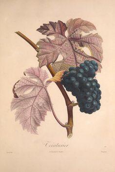 Teinturier - Pomologie française : recueil des plus beaux fruits cultivés en France, vol 2   illustrated by P. J. F. Turpin   1846