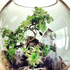 Ficus Bonsai Terrarium by Bioattic