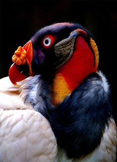 The King Vulture Sarcoramphus Papa Is A Large Bird Found In Central And South