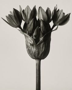 Before there was Instragram and there was Karl Blossfeldt, the master of macro plant photography. Karl Blossfeldt, Artistic Photography, Vintage Photography, Art Photography, Texture Photography, Botanical Illustration, Botanical Art, Botanical Wallpaper, Botanical Drawings