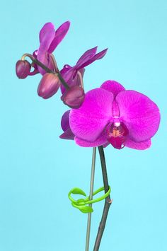 Orchid clip