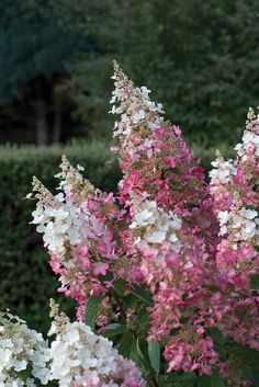 "Displayed on strong stems, the 12-16"" two-toned flowers of Pinky Winky panicle hydrangea are enchanting."
