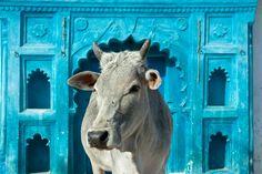 Vaca sagrada | Insol