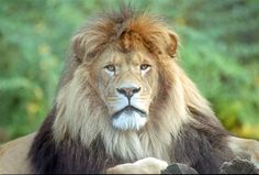 white lion picture | Pictures of Lions, Lion Facts