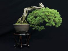 Japanese five-needle Pine, Pinus parviflora. Size: 34 inches. Estimated age: 250 years.