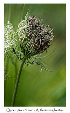 Queen Annes lace Unique Flowers, Cut Flowers, Pretty Flowers, Nature Plants, Garden Plants, Carrot Flowers, Tuxedo Park, Dark Purple Flowers, Cut Flower Garden