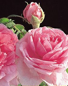 Rosa Comte de Chambord...MY GOOD GRACIOUS! What a beauty!