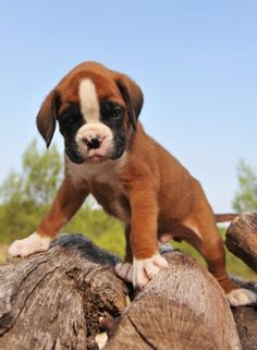 I LOVE boxer puppies!