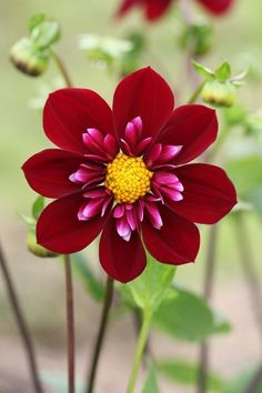 Hillcrest Regal Dahlia Collarette