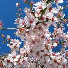 Prunus dulcis--Amendoeira