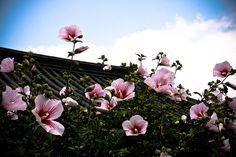 Korea's Beautiful Flower    The national flower of Korea - the Rose of Sharon; taken at Namsan Hanok Folk Village, Seoul, Korea