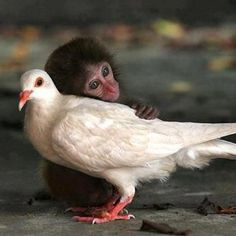 This 12-week-old abandoned macaque found friendship with a white pigeon. This is so sweet. Animals really do seem to have feelings.