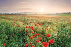 A field of #poppies near #Barham, #Kent