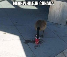 Meanwhile in Canada added a new photo. - Meanwhile in Canada Canadian Memes, Canadian Things, I Am Canadian, Canadian Humour, Canada Jokes, Canada Funny, Canada 150, Canadian Stereotypes, Canada Country
