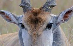 African Antelope, History Photos, Safari Animals, Best Photographers, Impala, Natural History, Kenya, Giraffe, Wildlife