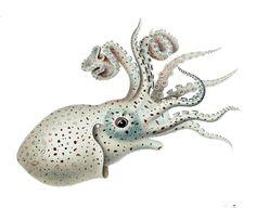 Die Cephalopoden Ewald Rübsamen File:Argonauta hians female.jpg