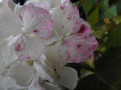 hortensia in de voortuin (1) Rose, Flowers, Plants, Floral, Roses, Plant, Royal Icing Flowers, Florals, Flower
