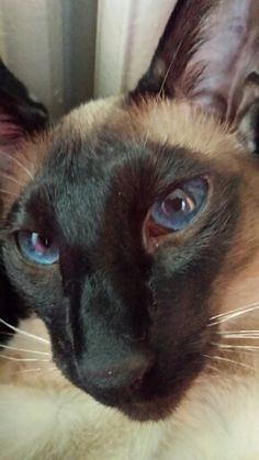 My cat siamese Siamese Cats, Cats And Kittens, Kitty Cats, I Love Cats, Cool Cats, Animals And Pets, Cute Animals, Oriental Shorthair Cats, Oriental Cat